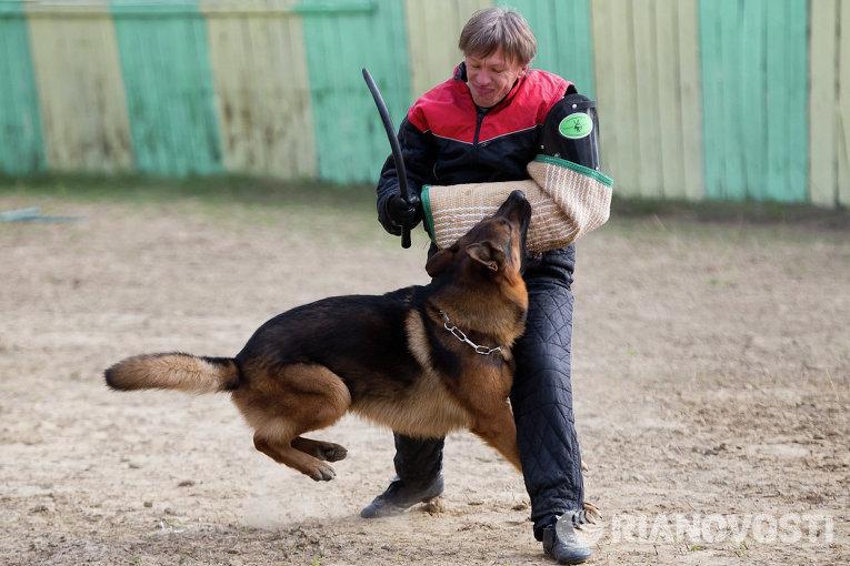 Немецкое качество: в Томске проходит выставка овчарок