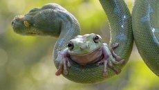 Лягушка смело забралась на питона. Змея отнеслась к пассажиру  спокойно. Зоопарк в Джакарте, Индонезия