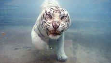Белый бенгальский тигр в бассейне в Калифорнии
