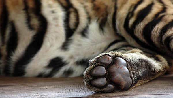Лапа тигра