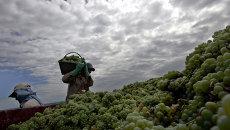 Сборщики винограда в Аргентине. Архивное фото