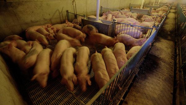 Свиньи на ферме в США. Архивное фото
