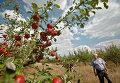 Молдавский фермер в яблоневом саду