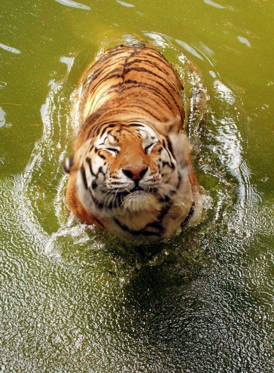 Картинки по запросу амурский тигр