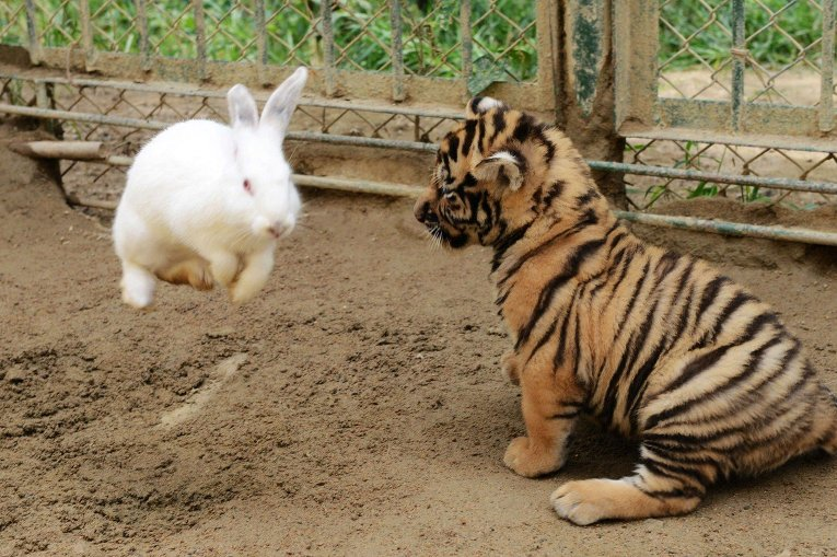 Амурский тигренок играет с кроликом