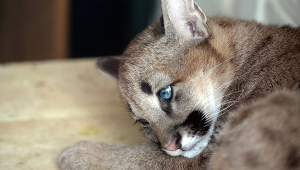 Пумы против котят фото 376-189