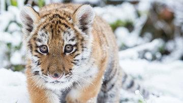 Амурский тигренок. Архивное фото
