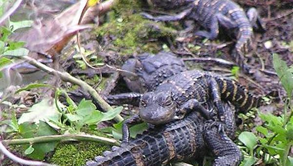 Молодые аллигаторы катаются на спинах друг у друга
