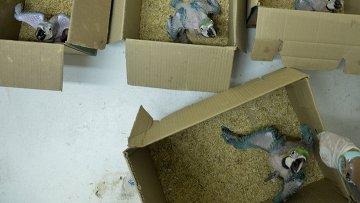Попугаи ара в коробках. Архивное фото