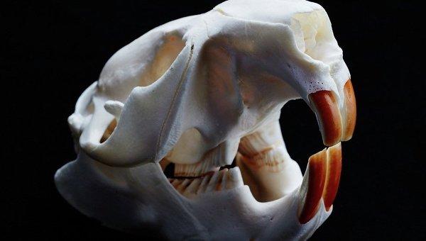 Череп бобра и его гигантские резцы, защищенные от кариеса вкраплениями ионов железа
