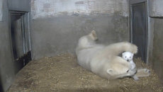 В маминых объятьях: белая медведица играет с детенышем