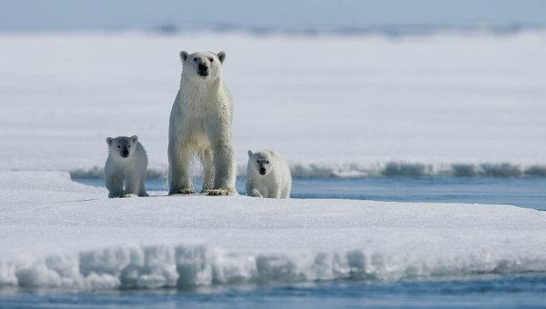 Медведица с медвежатами на льдине