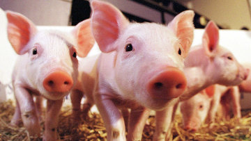 Первые в мире клонированные в Великобритании свиньи