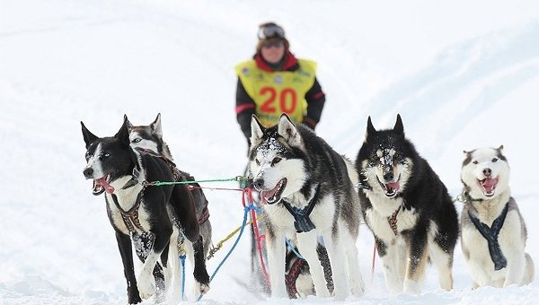 Участник гонки на собачьих упряжках Берингия-2015 на Камчатке