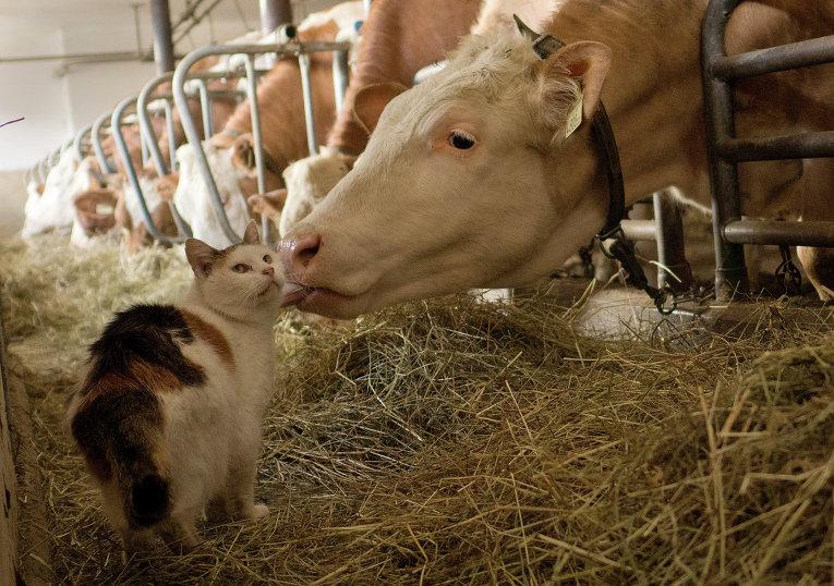 Кошка на молочной ферме в австрийских Альпах