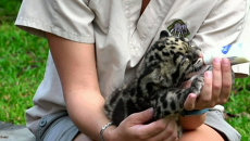 Новорожденный леопард Маугли впервые пил молоко перед публикой в зоопарке