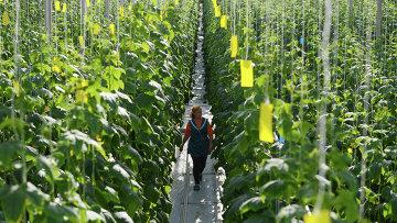 Выращивание огурцов в тепличном комплексе ООО Новгородские теплицы. Архивное фото