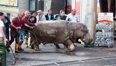 Люди помогают бегемоту спастись из затопленного зоопарка в Тбилиси. Июнь 2015