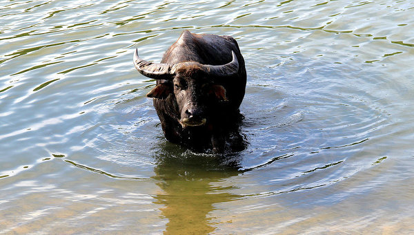 буйволы фото в россии
