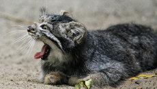 Котята манула в Новосибирском зоопарке