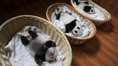Детеныши гигантских панд в центре Яань, Китай