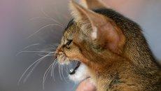 Кошка абиссинской породы. Архивное фото