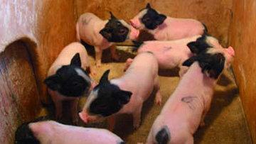 Новая порода трансгенных свиней, которую планирует продавать Пекинский институт геномики