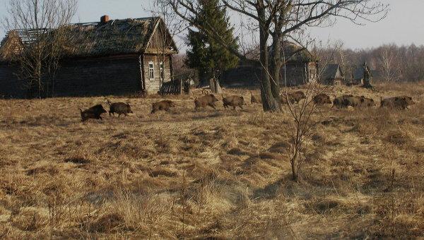 Кабаны на территории зоны отчуждения вокруг Чернобыльской АЭС