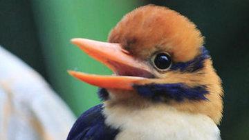 Усатая альциона, очень редкая птица из семейства зимородковых