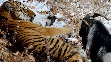 В Приморском Сафари-парке амурский тигр подружился с козлом. Архивное фото