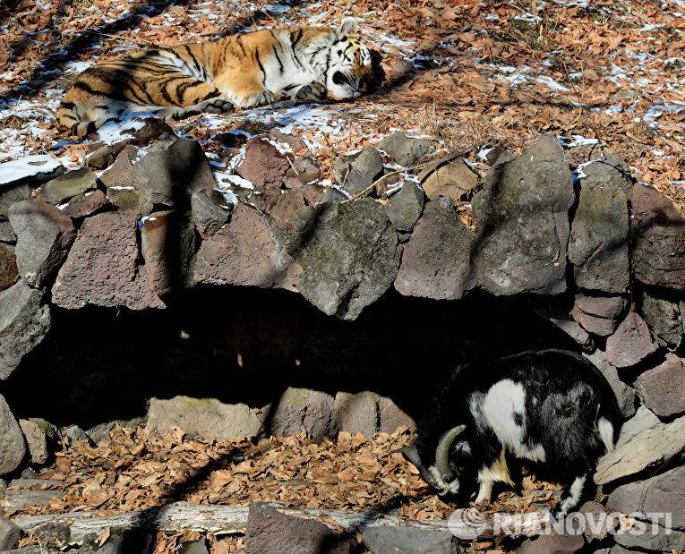 Дружба козла Тимура и тигра Амура
