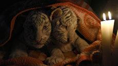 Бенгальские тигрята в зоопарке Ялты
