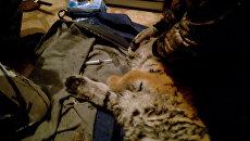 Ветеринары оказали первую помощь вышедшему к людям тигренку в Приморье
