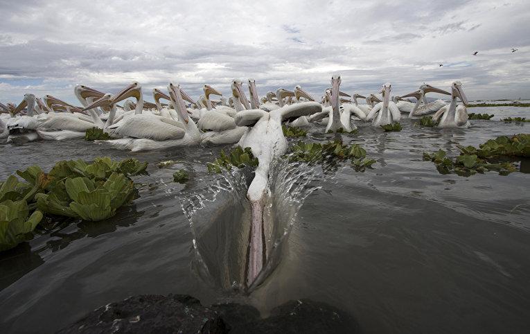 Пеликаны в озере Чапала, Мексика
