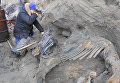 Палеонтолог Сергей Горбунов извлекает тушу Жени из вечной мерзлоты