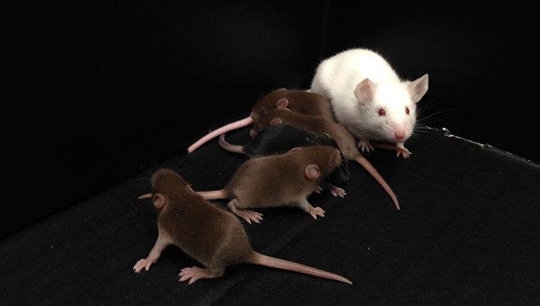 Самец мыши (белый), лишенный мужской Y-хромосомы, и его потомство