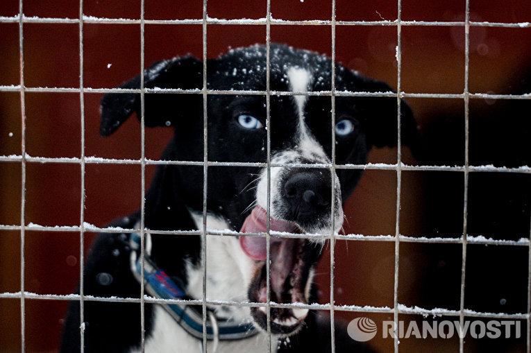 Питомник ездовых собак в Карелии