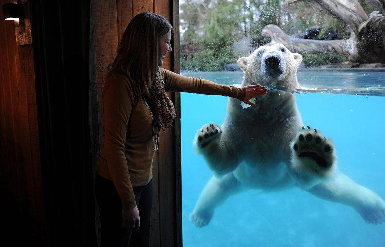 Полярный медведь в зоопарке Франции