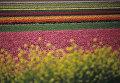 Поле голландских тюльпанов