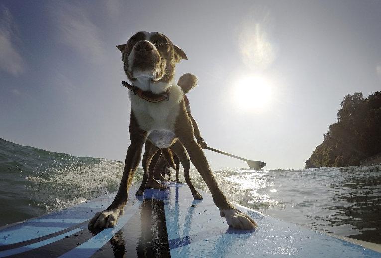Серфер катается вместе со своими собаками в Сиднее