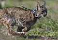 Иберийская рысь в национальном парке Доньяна