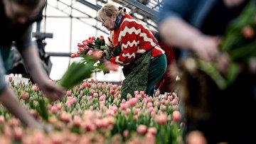 Работники теплицы срезают тюльпаны. Архивное фото