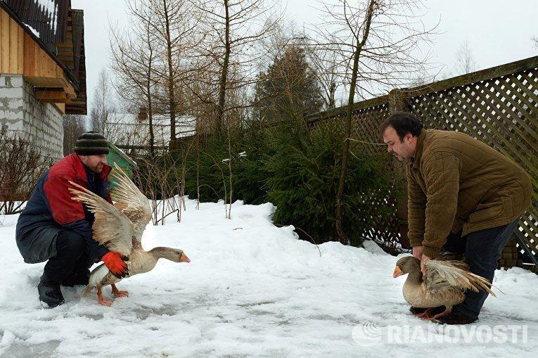 Тренировка гусей породы тульский бойцовый на ферме селекционера Вячеслава Комова в поселке Васкелово