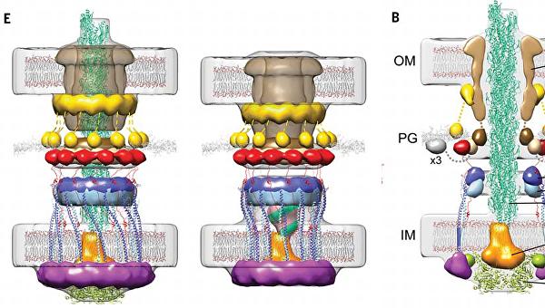 Трехмерная структура крюка Бэтмена у бактерий