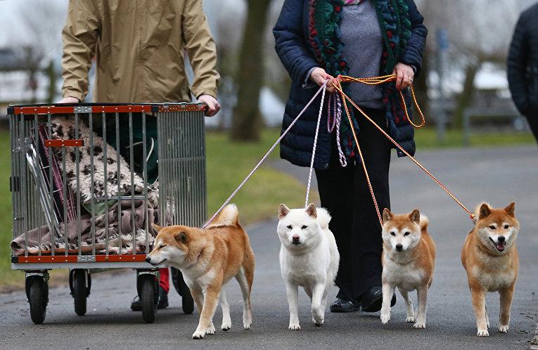 Собаки породы Сиба-ину на выставке Crufts Dog Show в Бирмингеме, Англия