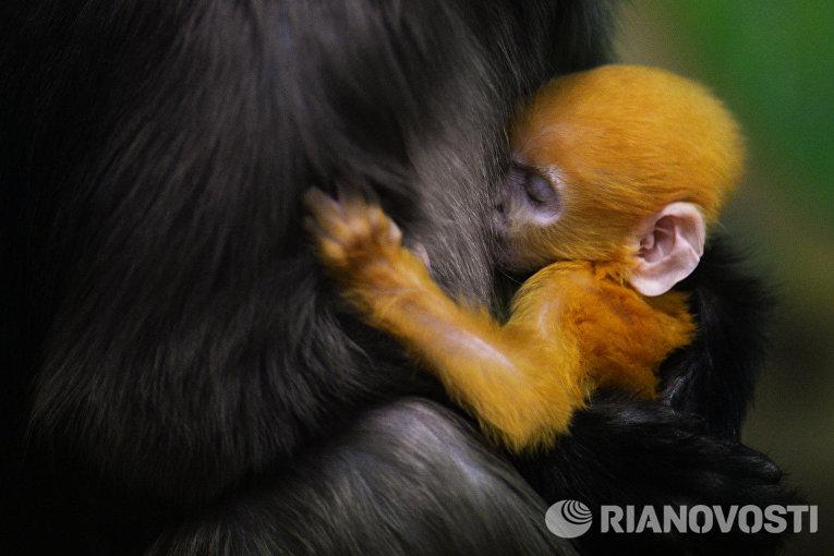 Детеныш очкового лангура, родившийся у пары приматов в Новосибирском зоопарке