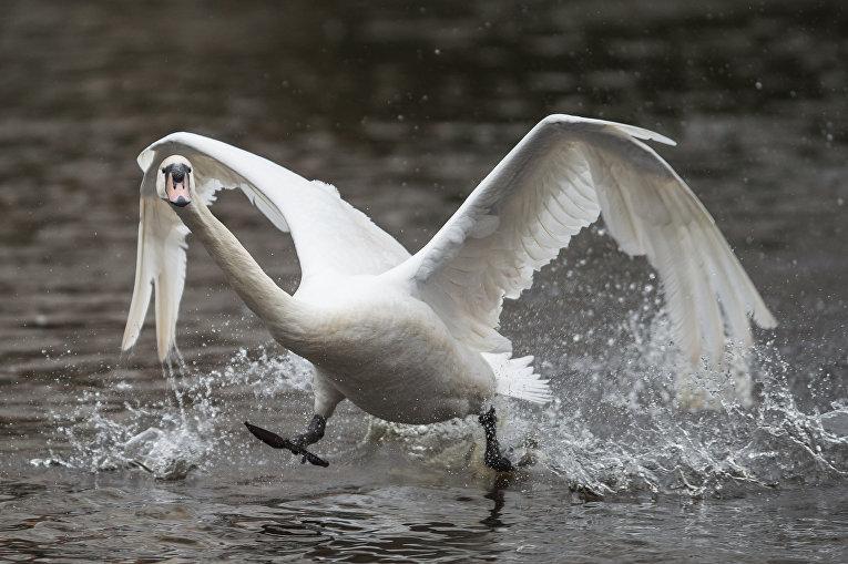 Лебедь на озере Альстер в Германии, 15 марта 2016