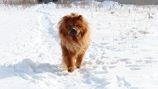 Собака породы чау-чау. Архивное фото