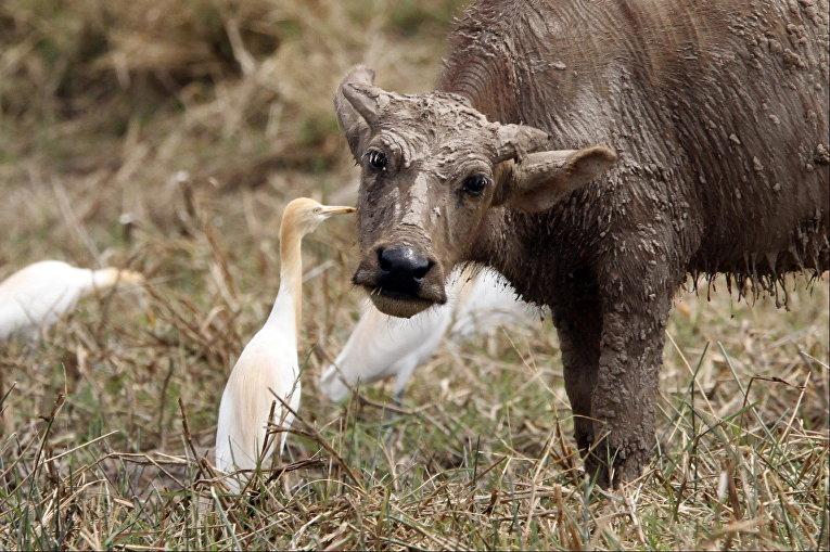 Азиатский буйвол и фламинго в пригороде Пномпеня, Камбоджа