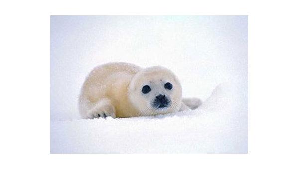 Белек. Детеныш тюленя
